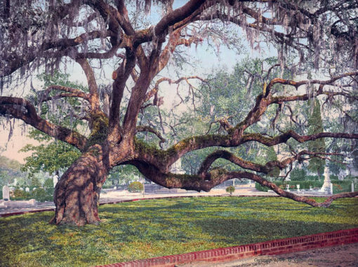 Live Oak in Magnolia Cemetery, Charleston, SC #53520