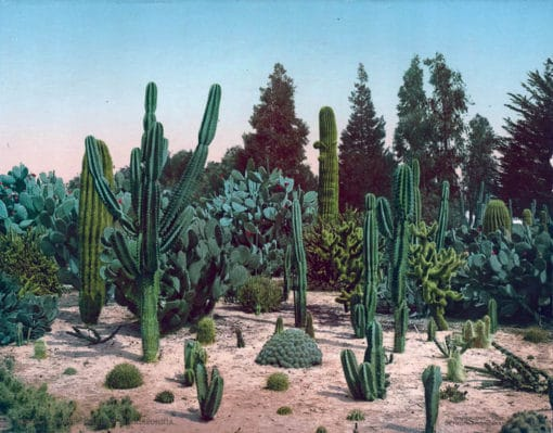 A Cactus Garden in California 53904